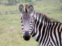 zebra-1472159-640x480